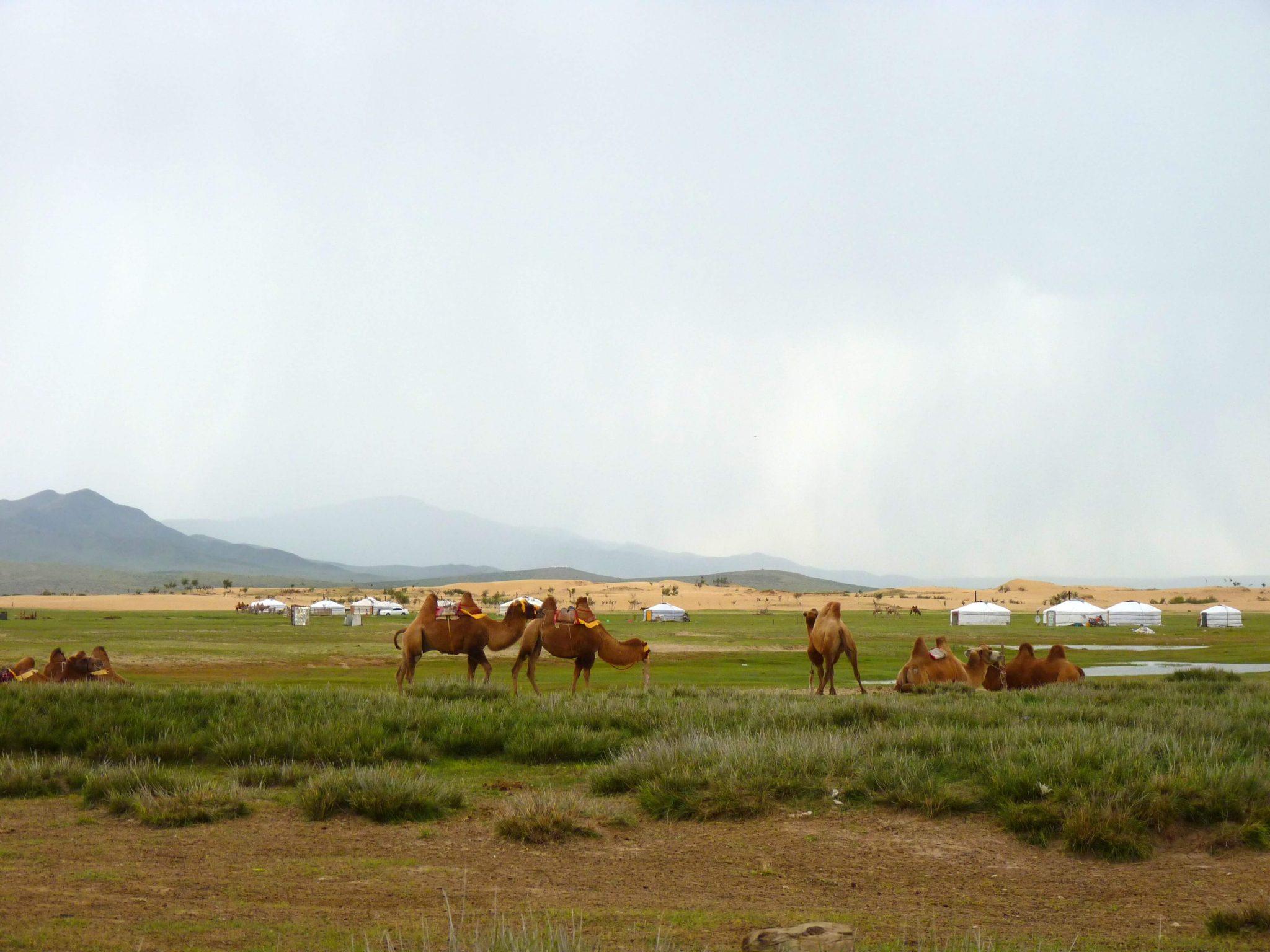 Camelos Mongólia Mundo Indefinido